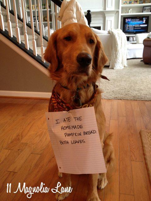 dog shaming golden retriever