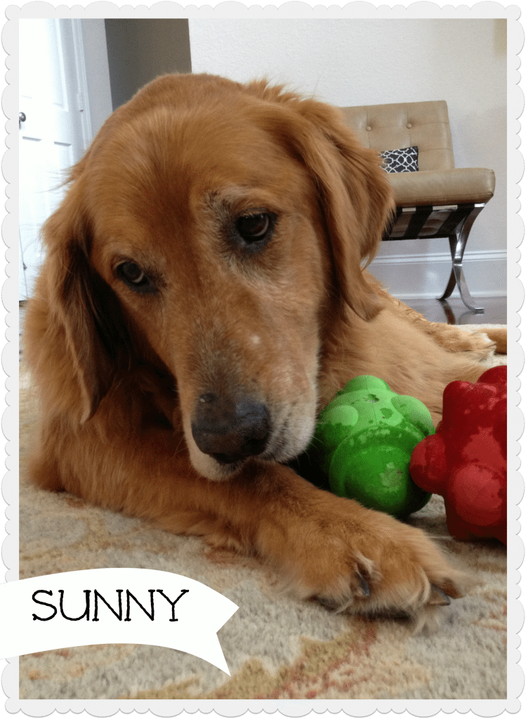 Sunny golden retriever