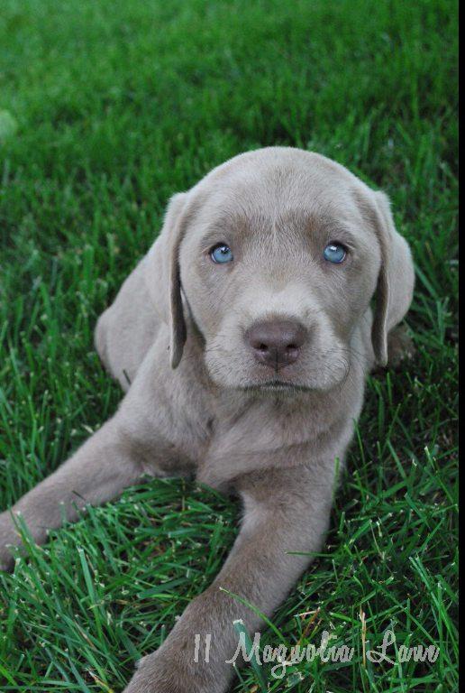 silver-lab-puppy-marked